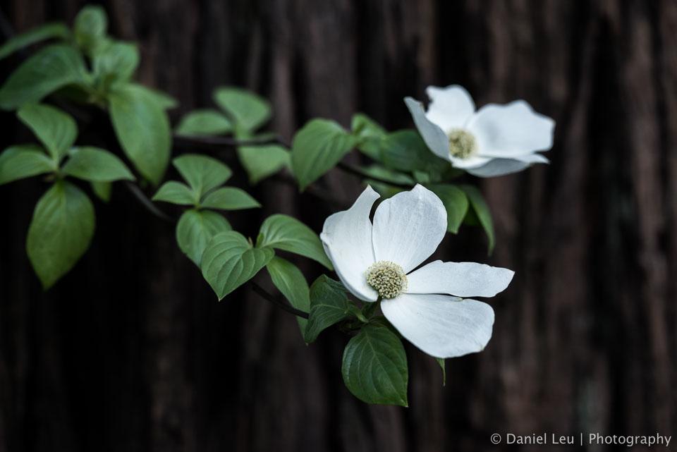 DL_20160421_DSC4961-Yosemite-Dogwood-Blooming.jpg
