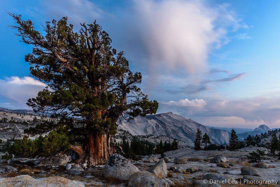 DL_20160820_DSC1486-Yosemite-Juniper-Tree.jpg